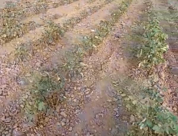 Sabirabadda pambıq tarlaları susuzluqdan yanır