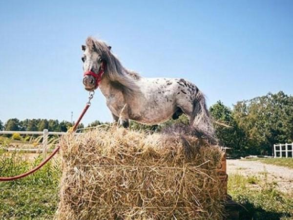 Dünyanın ən balaca atı tapıldı - FOTO